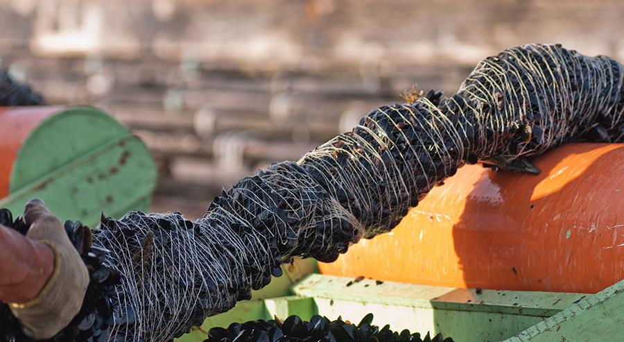 Cría del Mejillón sobre la cuerda 1